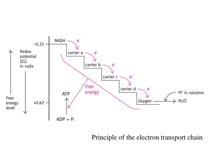 Principle of the electron transport chain