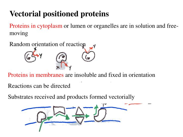 Vectorial positioned proteins