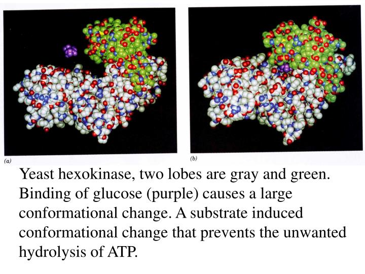 Yeast hexokinase, two lobes are gray and green. Binding of glucose (purple) causes a large conformational change. A substrate induced conformational change that prevents the unwanted hydrolysis of ATP.