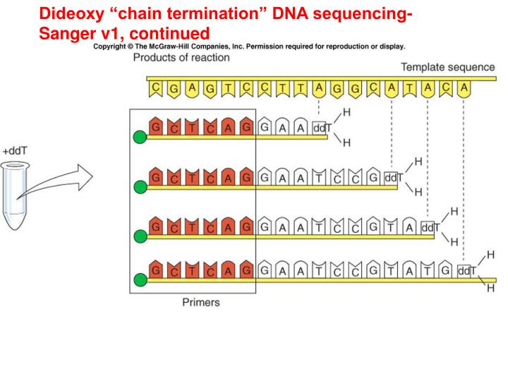 "Dideoxy ""chain termination"" DNA sequencing-"