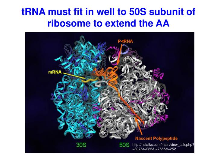 tRNA must fit in well to 50S subunit of ribosome to extend the AA