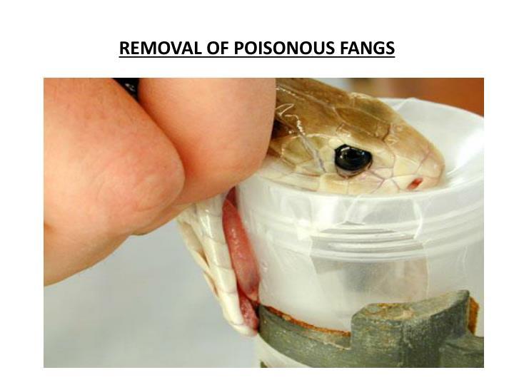 REMOVAL OF POISONOUS FANGS
