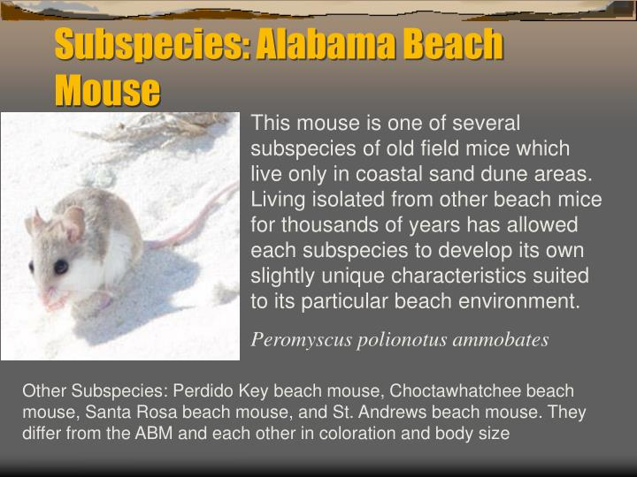 Subspecies: Alabama Beach Mouse