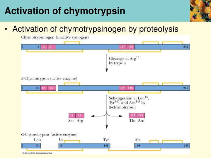 Activation of chymotrypsin