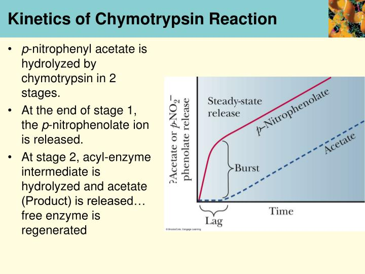 Kinetics of Chymotrypsin Reaction