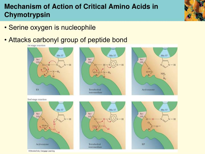 Mechanism of Action of Critical Amino Acids in Chymotrypsin