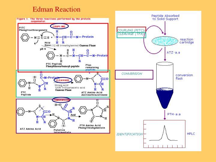 Edman Reaction