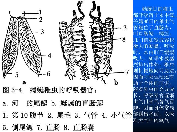 蜻蜒目的稚虫都呼吸溶于永中氧。差翅亚目的稚虫气管鳃位于直肠内,叫直肠鳃—鳃篮。肛门前加宽成容积极大的鳃囊。呼吸时,水由肛门缓缓吸人。如果水被猛烈排出体外,稚虫则机械地向前急进。因而呼吸运动还有助于个体的前讲。随着稚虫的充分成长,呼吸器官逐渐由气门来代替气管鳃,因而身体常局部露出水面,以吸取大气中的氧气