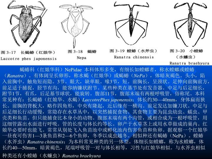 蝎蝽科(红娘华科)