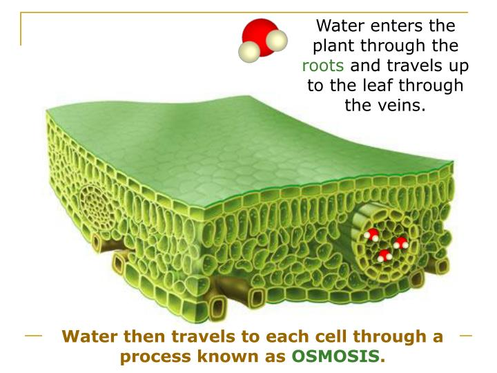 Water enters the plant through the