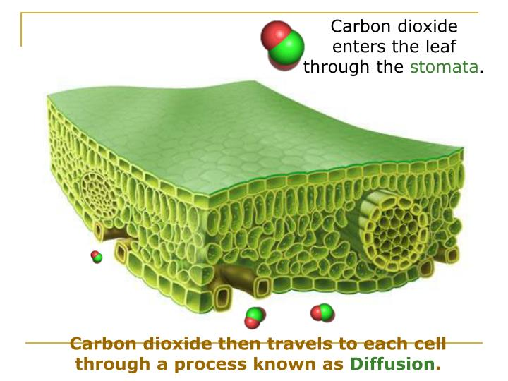 Carbon dioxide enters the leaf through the