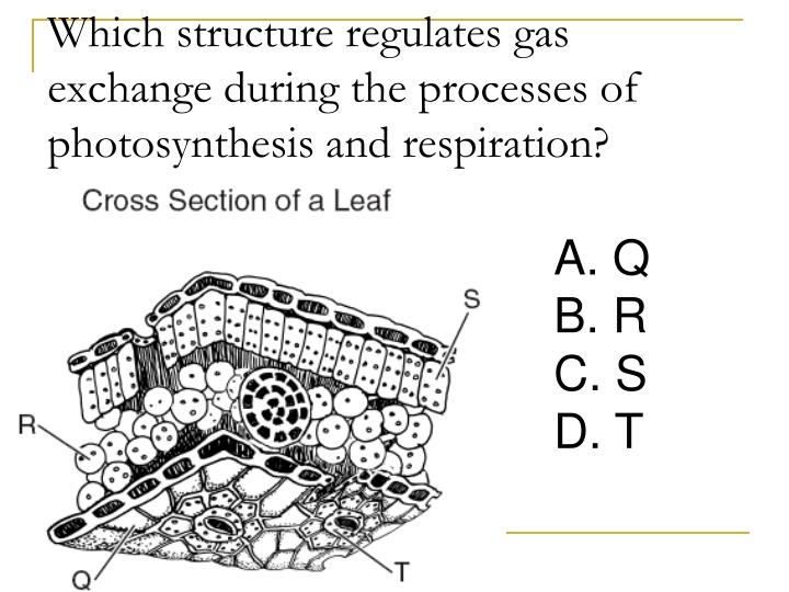 Which structure regulates gas exchange during the processes of photosynthesis and respiration?