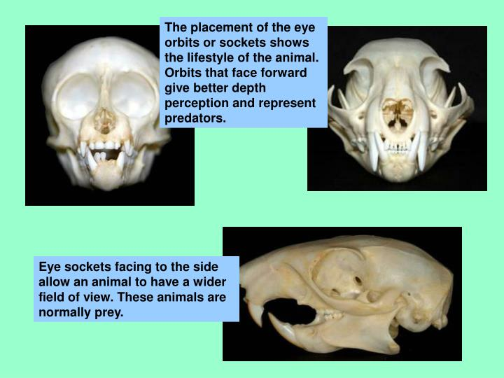 The placement of the eye orbits or sockets shows the lifestyle of the animal.  Orbits that face forward give better depth perception and represent predators.