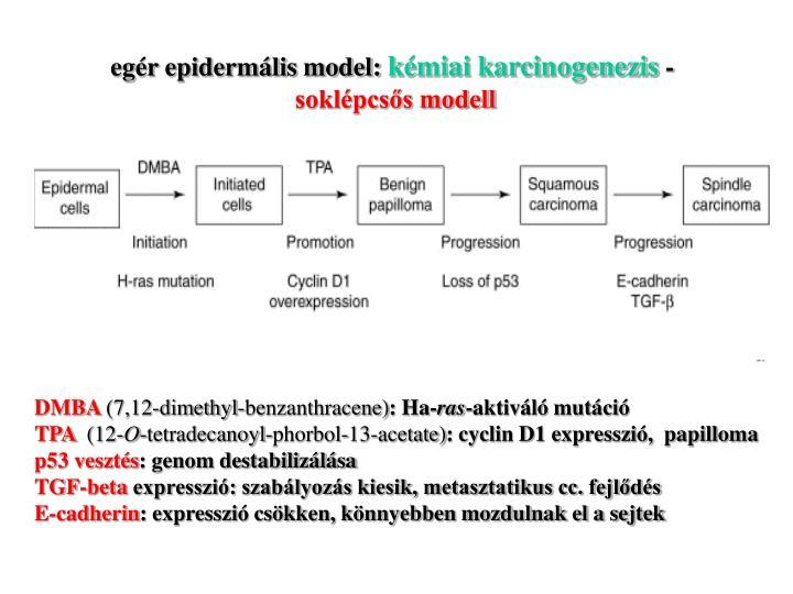 egér epidermális model: