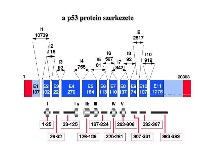 a p53 protein szerkezete