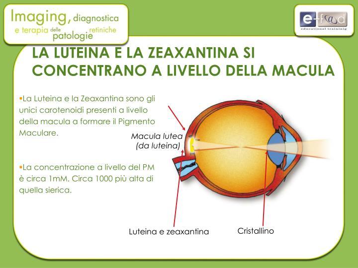 La Luteina e la Zeaxantina sono gli unici carotenoidi presenti a livello della macula a formare il Pigmento Maculare.