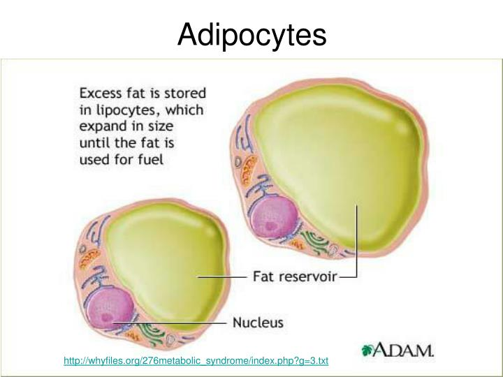 Adipocytes
