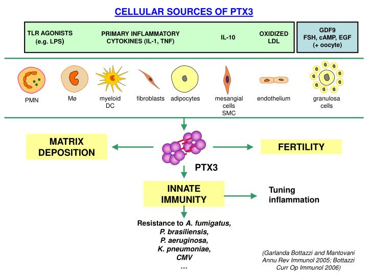 CELLULAR SOURCES OF PTX3