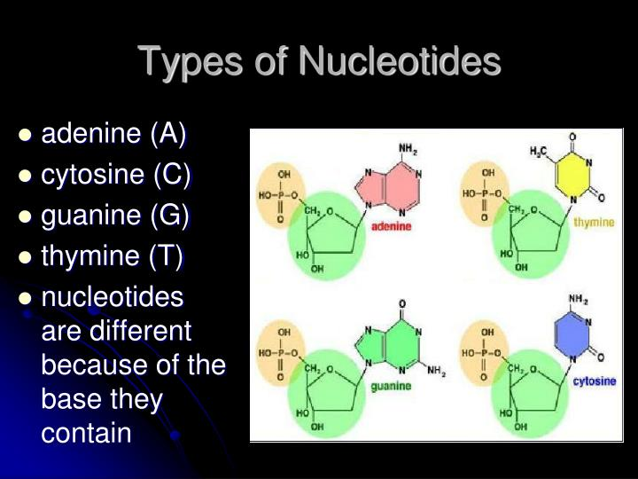Types of Nucleotides