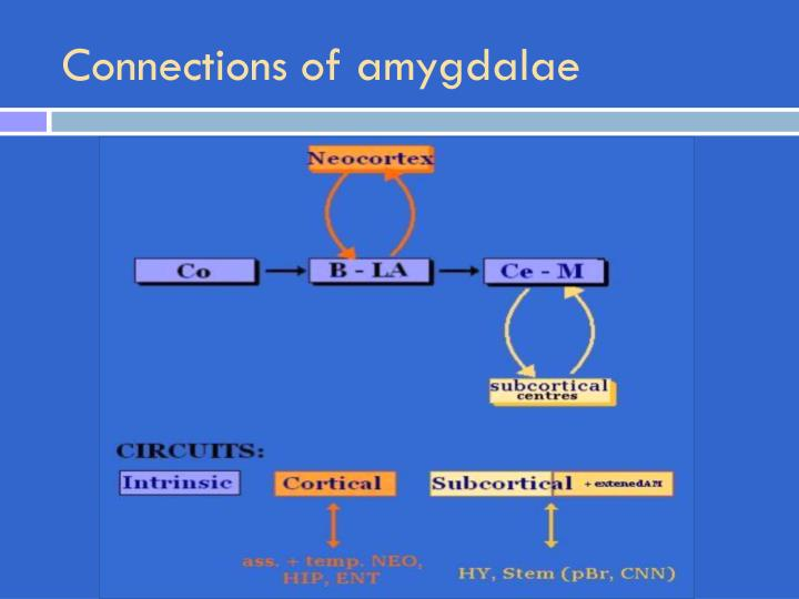 Connections of amygdalae