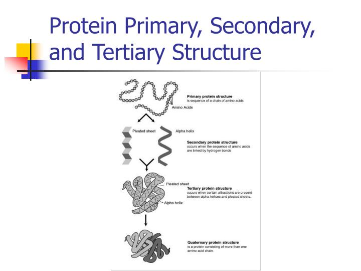 Protein Primary, Secondary, and Tertiary Structure