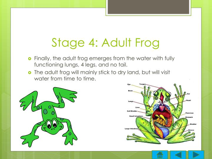 Stage 4: Adult Frog