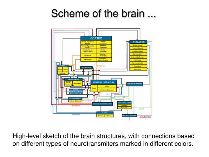 Scheme of the brain ...
