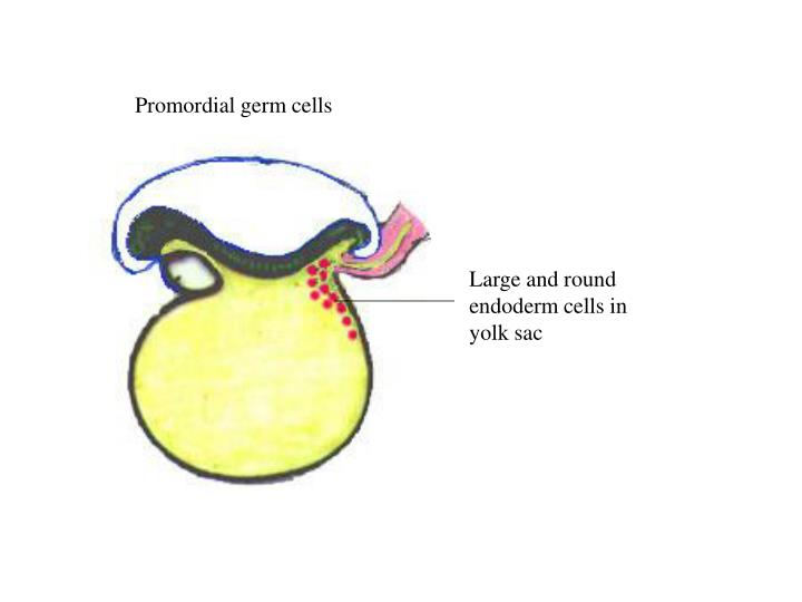 Promordial germ cells