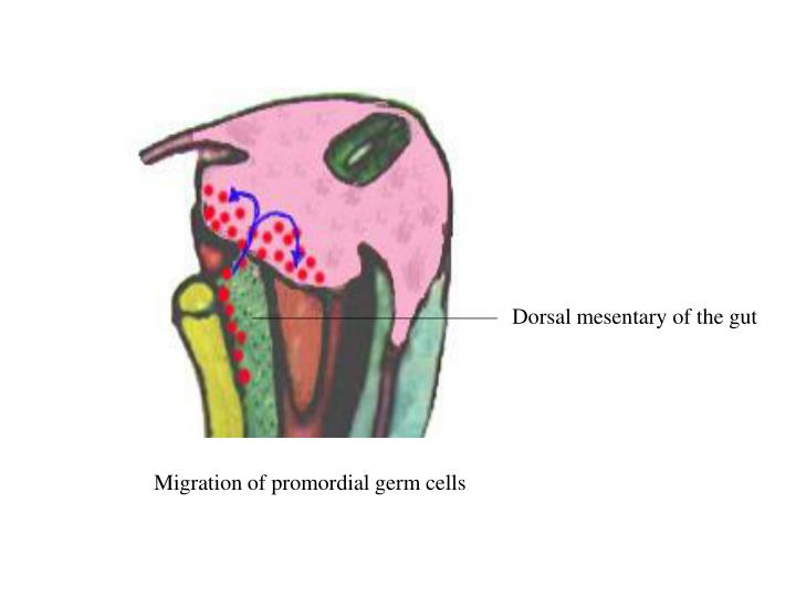 Dorsal mesentary of the gut