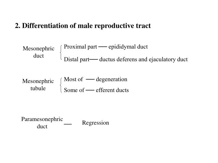 2. Differentiation of male reproductive tract