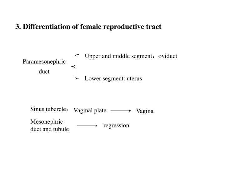 3. Differentiation of female reproductive tract