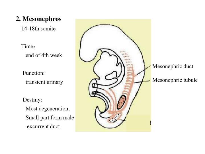 2. Mesonephros