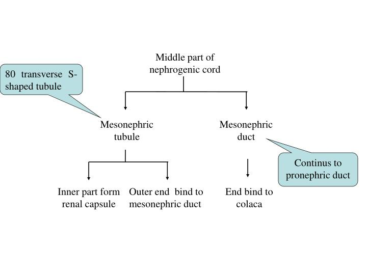 Middle part of nephrogenic cord