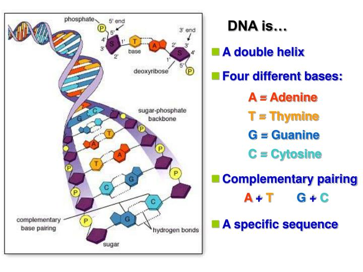 DNA is…