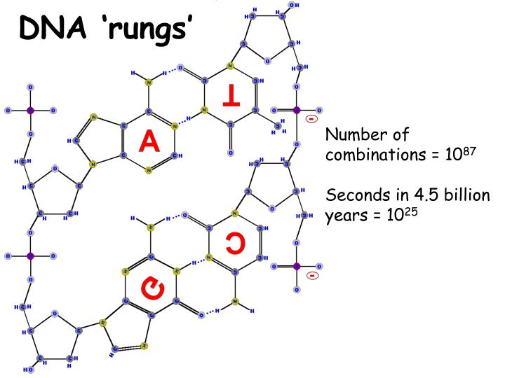 DNA 'rungs'