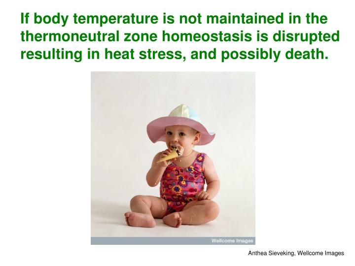 If body temperature is not maintained in the thermoneutral zone homeostasis is disrupted resulting in heat stress, and possibly death.
