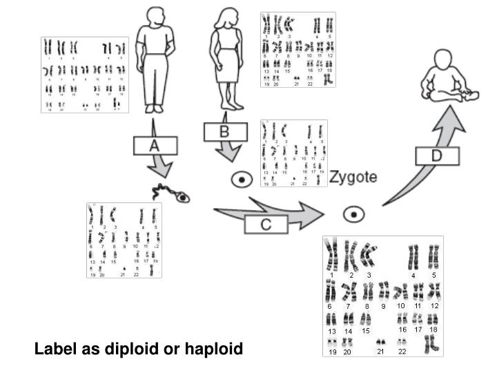 Label as diploid or haploid
