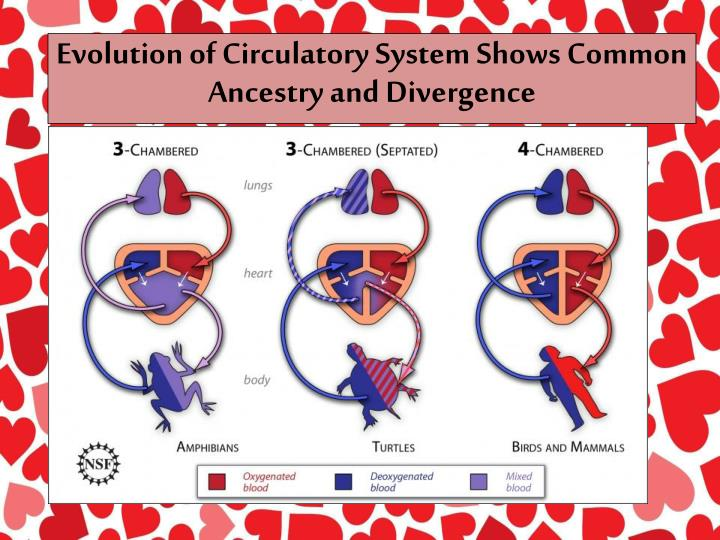 Evolution of Circulatory System Shows Common Ancestry and Divergence