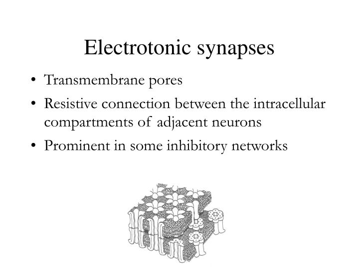 Electrotonic synapses