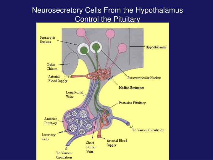 Neurosecretory Cells From the Hypothalamus Control the Pituitary