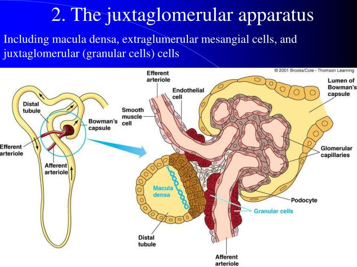 2. The juxtaglomerular apparatus