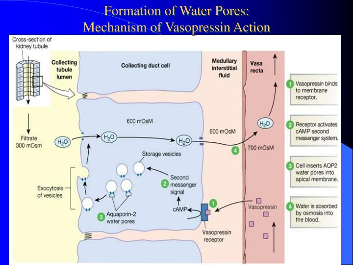 Formation of Water Pores: