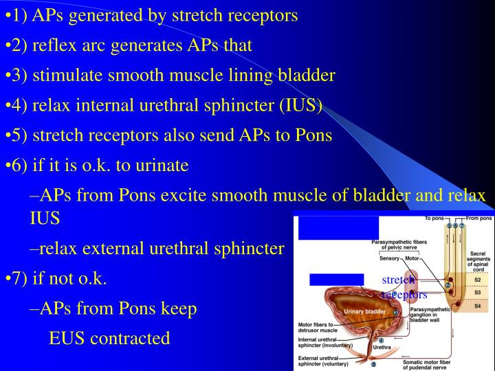 1) APs generated by stretch receptors