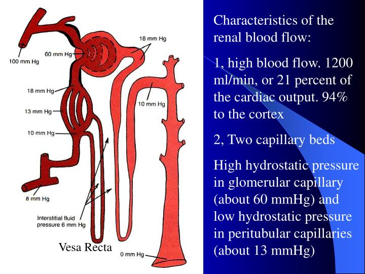 Characteristics of the renal blood flow: