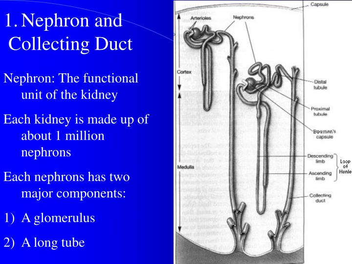 Nephron and