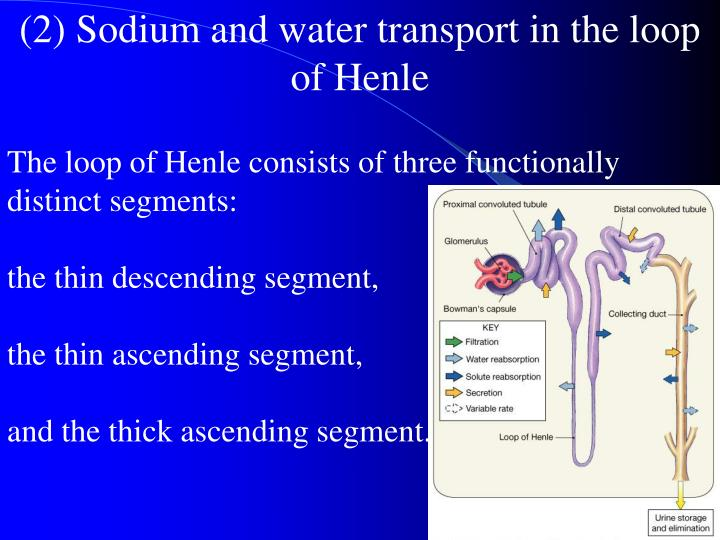 (2) Sodium and water transport in the loop of Henle