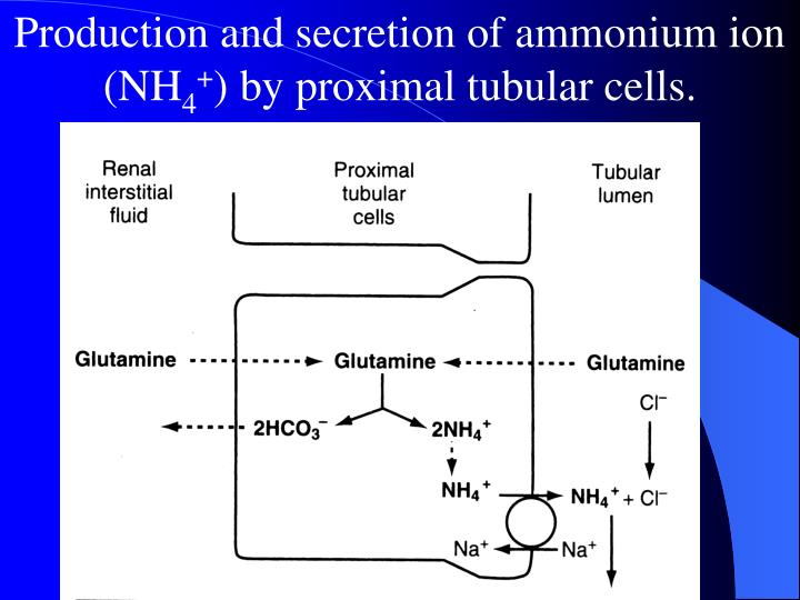 Production and secretion of ammonium ion (NH