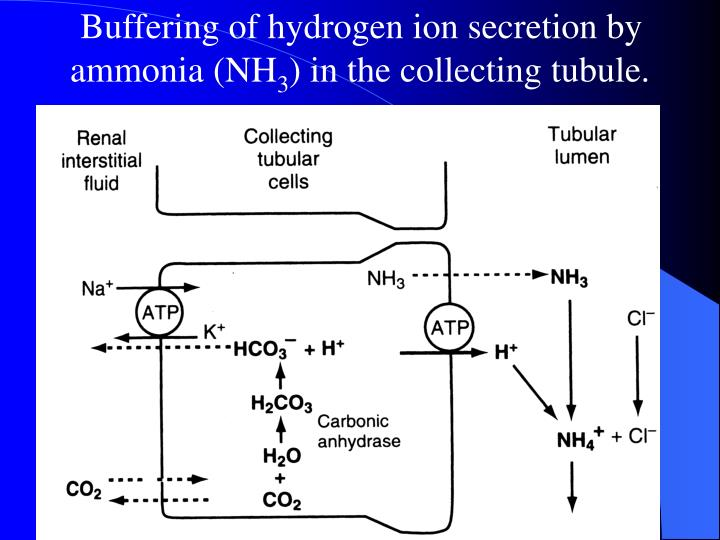 Buffering of hydrogen ion secretion by ammonia (NH