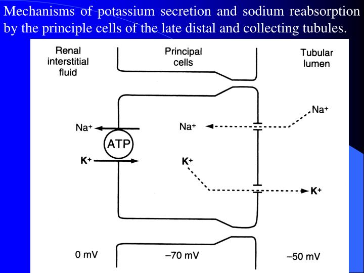 Mechanisms of potassium secretion and sodium reabsorption by the principle cells of the late distal and collecting tubules.