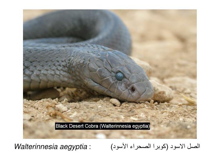 الصل الاسود (كوبرا الصحراء الأسود) :